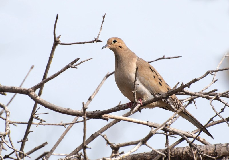 Mourning Dove_DSC_2758