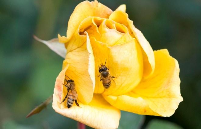 Rose_bees_DSC_9410