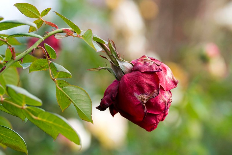Rose_DSC_9427