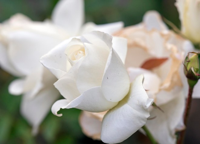 Rose_DSC_9496