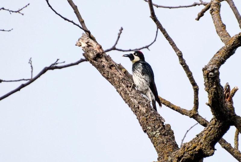 Woodpecker_DSC_2778