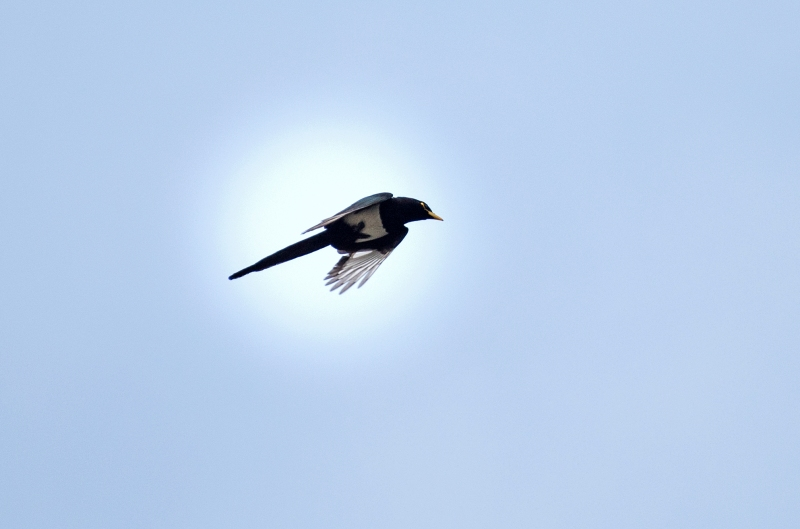 Yellow Billed Magpie_DSC_3257