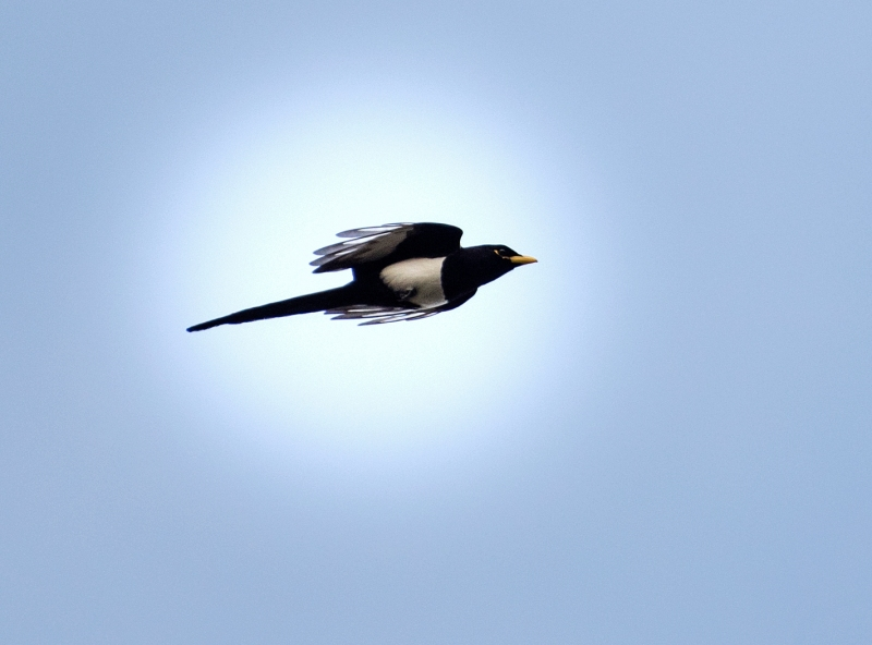 Yellow Billed Magpie_DSC_3258