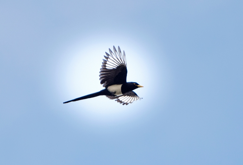 Yellow Billed Magpie_DSC_3259