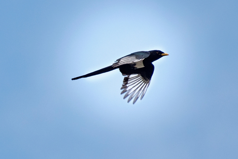 Yellow Billed Magpie_DSC_3260