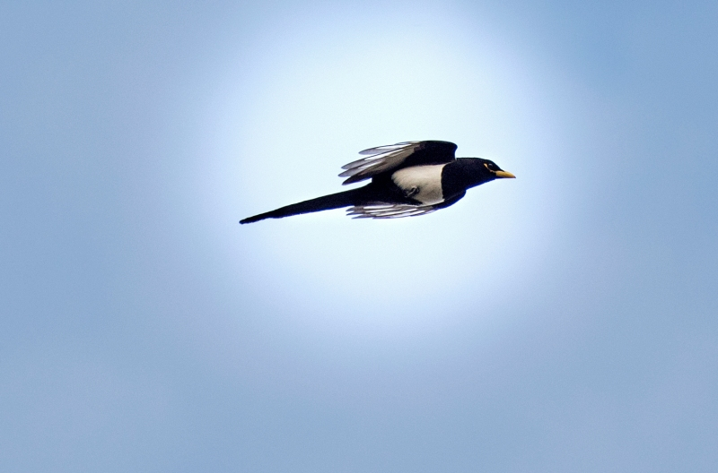 Yellow Billed Magpie_DSC_3261