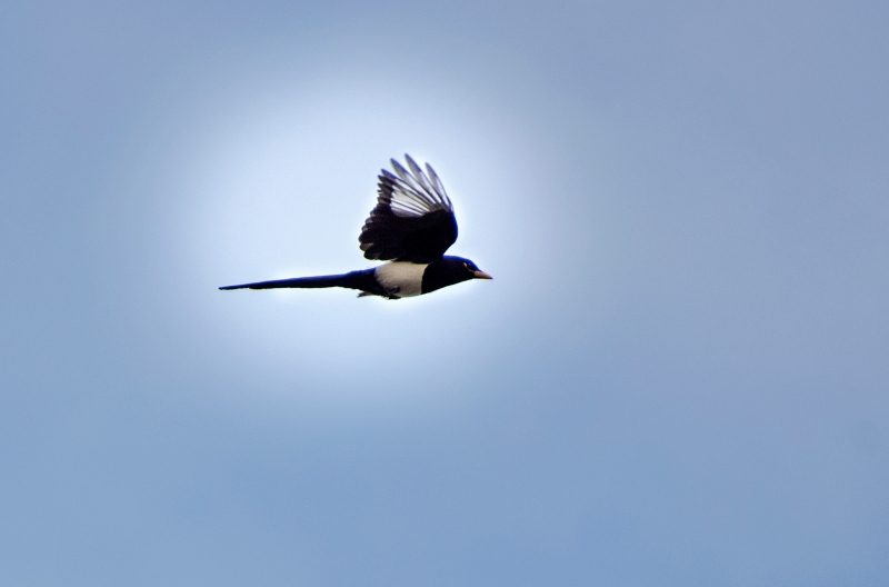 Yellow Billed Magpie_DSC_3262