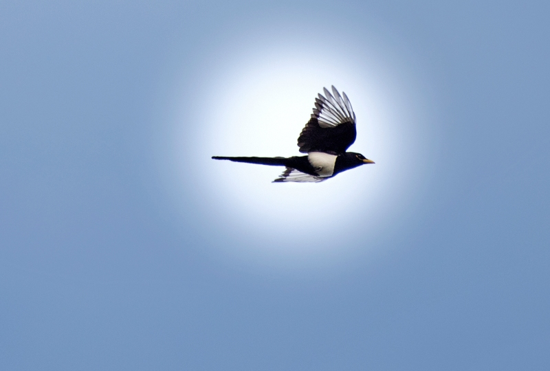 Yellow Billed Magpie_DSC_3265