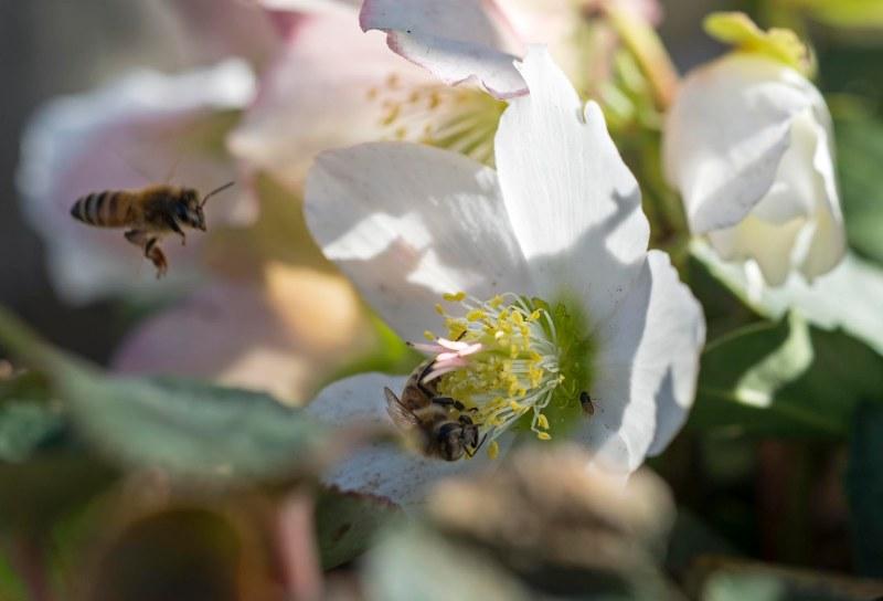 Bee_Helleborous_DSC_1580