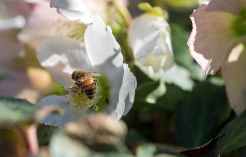 Bee_Helleborous_DSC_1581