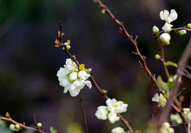 Blossom_DSC_1235