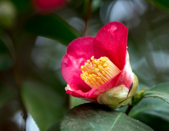 Camellia_DSC_1297