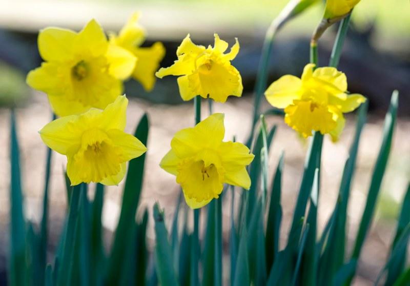 Daffodils_DSC_1586