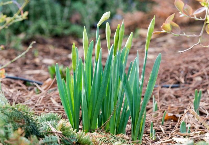 Daffodils_DSC_1820