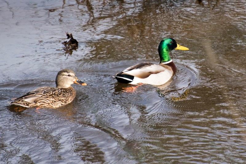 Ducks_DSC_4341