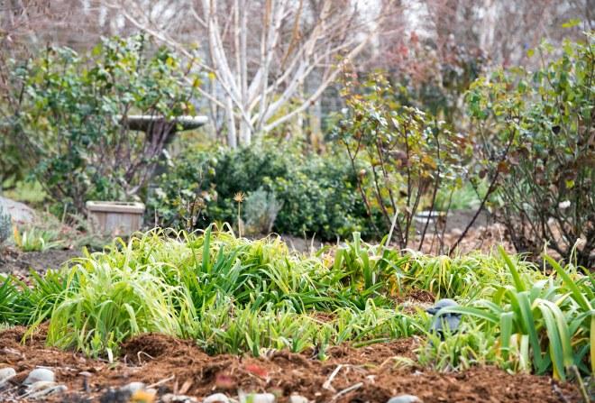 Garden_January_DSC_0732