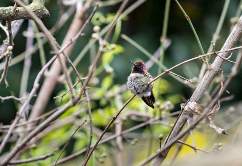 Hummingbird_DSC_1277
