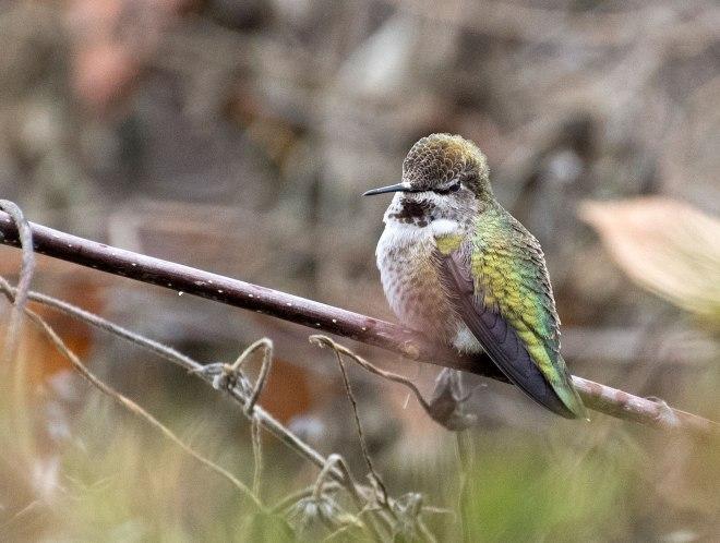 Hummingbird_DSC_3595