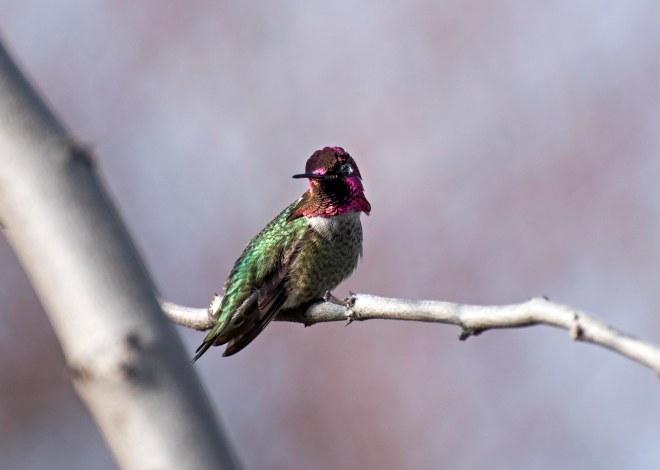 Hummingbird_DSC_4066