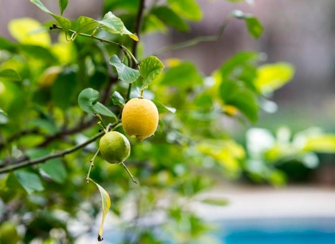 Lemon Tree_DSC_1274