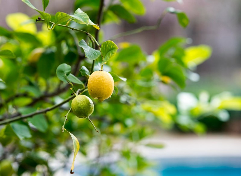 Lemon Tree_DSC_1274