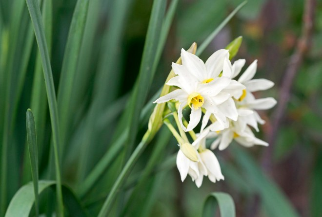 Narcissus_DSC_1232
