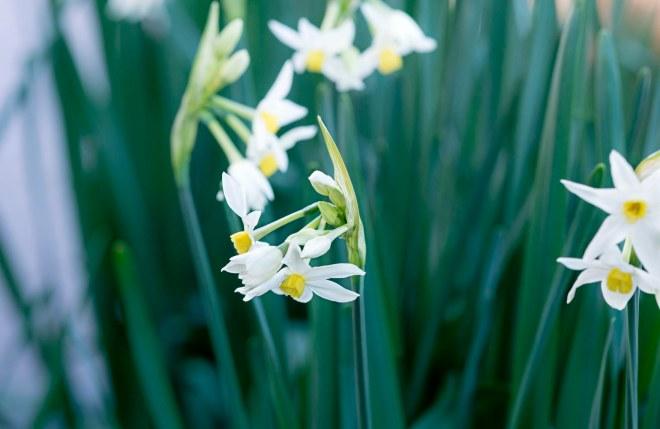 Narcissus_DSC_1574