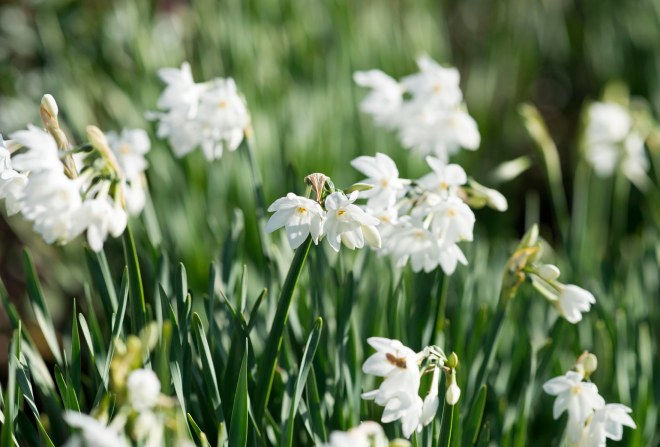 Narcissus_DSC_1578