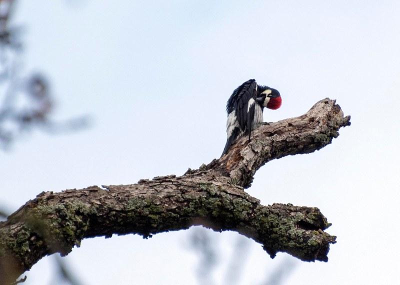 Woodpecker_DSC_4197