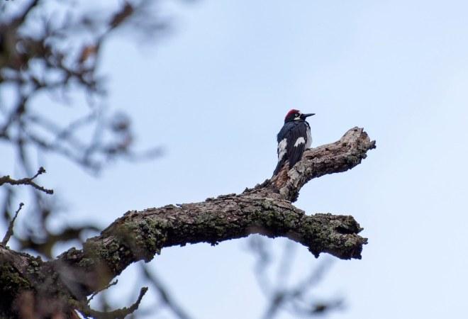 Woodpecker_DSC_4200