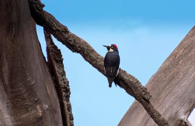 Woodpecker_DSC_4255