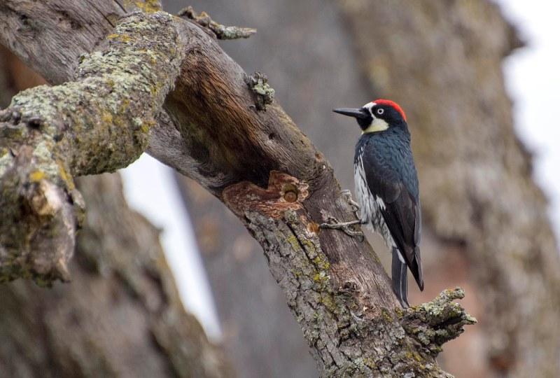 Acorn_Woodpecker_DSC_5125