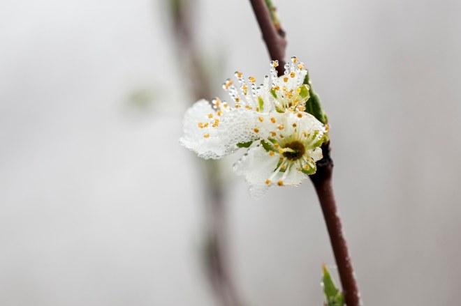 Apple Blossm_Fog_DSC_2847