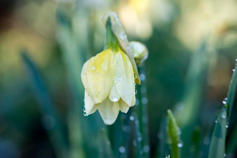 Daffodil_DSC_1993