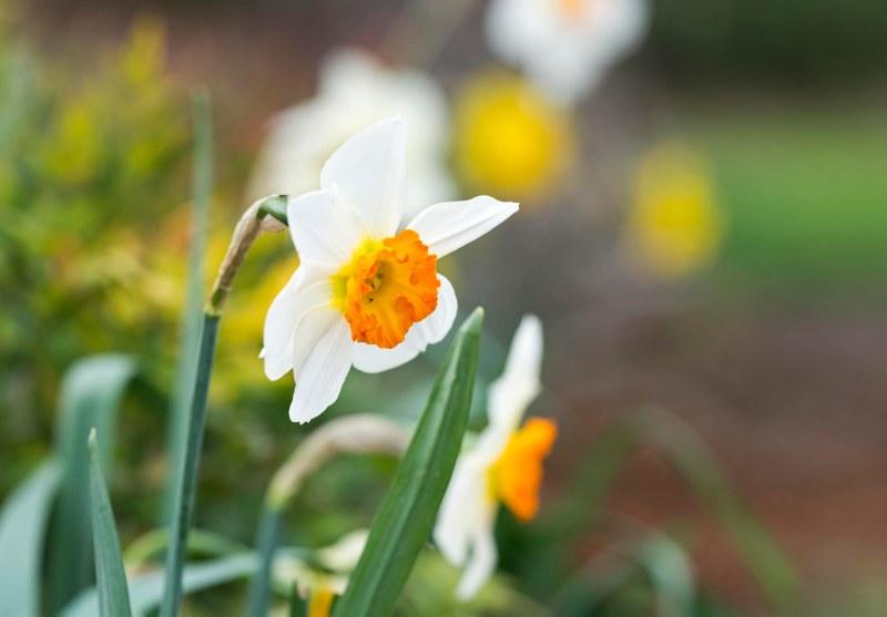 Daffodil_DSC_2820