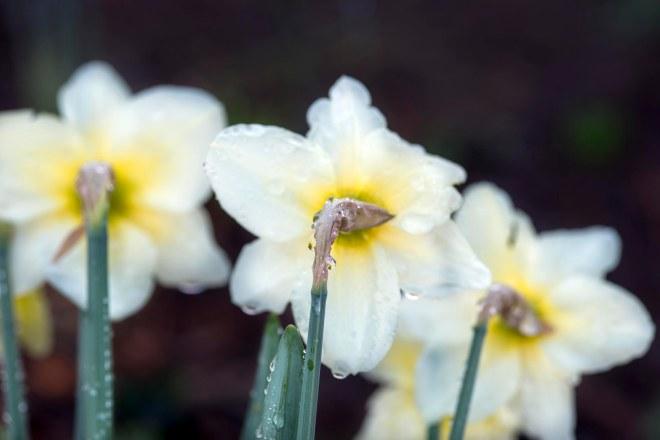 Daffodils_DSC_1996