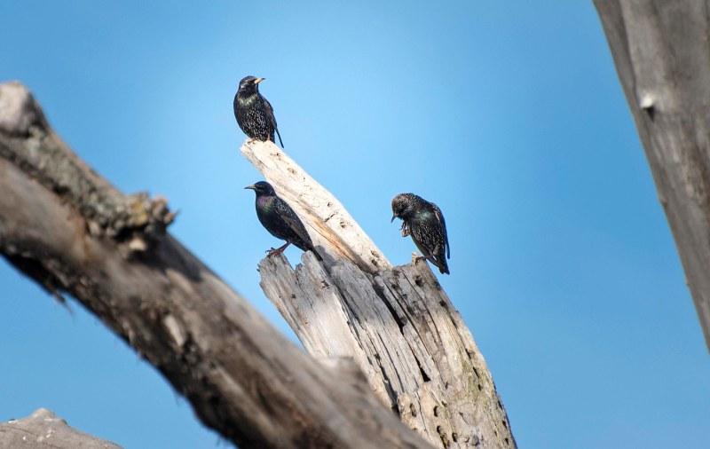 European_Starlings_DSC_4875