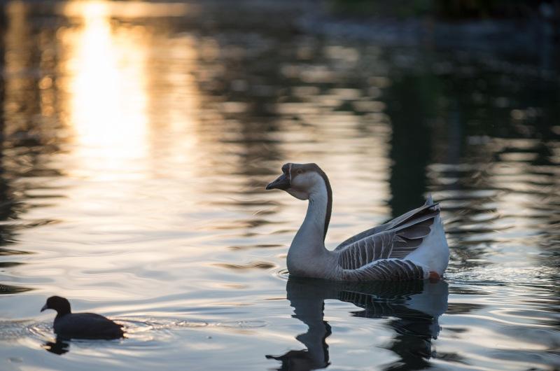 Goose_DSC_2629
