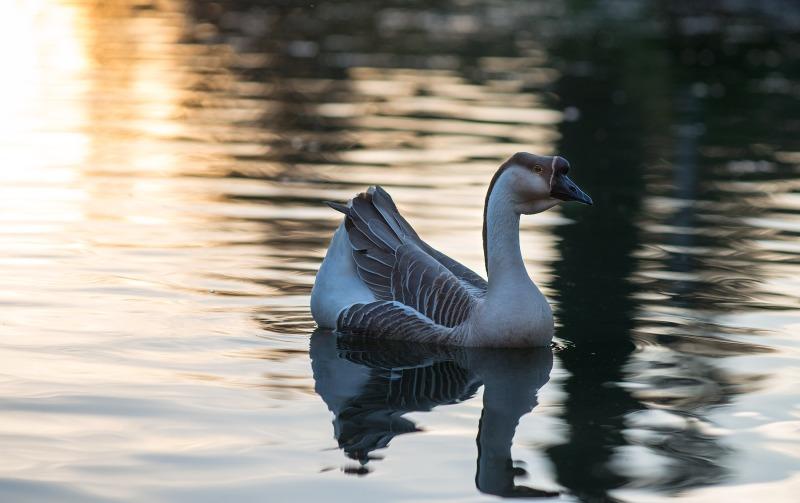 Goose_DSC_2637