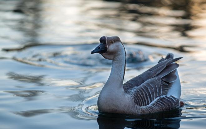 Goose_DSC_2651