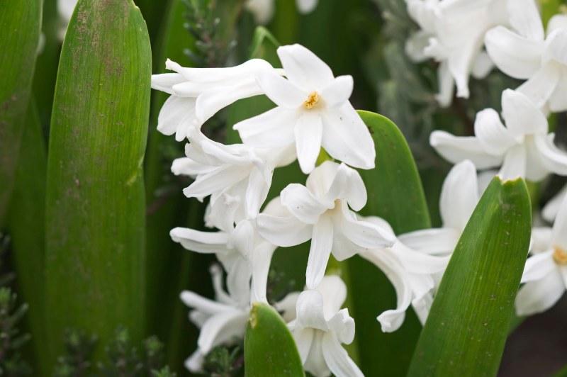 Hyacinth_DSC_2806