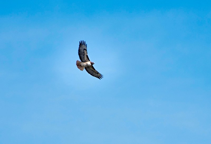Red Tailed Hawk_DSC_5021