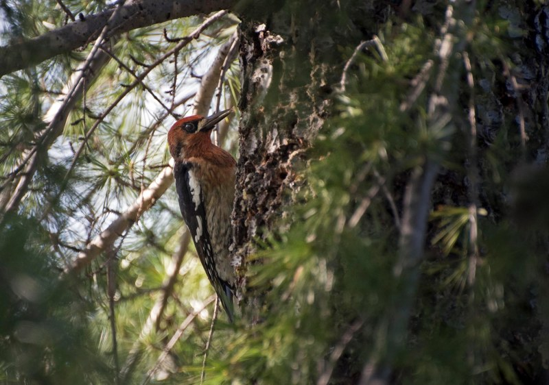Red_Breasted_Sapsucker_DSC_5056