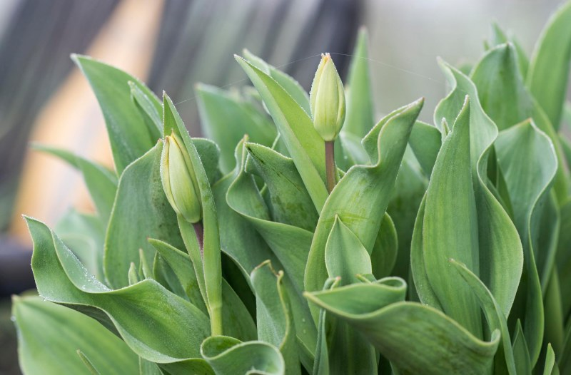 Tulips_Fog_DSC_2854
