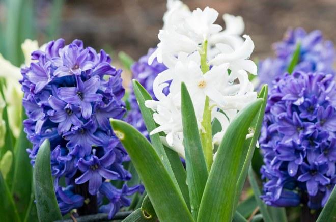Hyacinth_DSC_3179