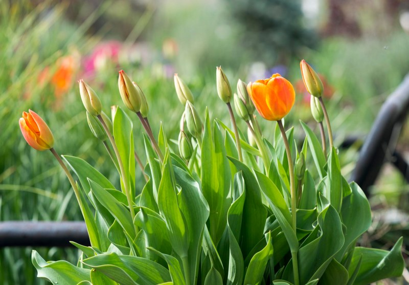 Tulips_DSC_3193