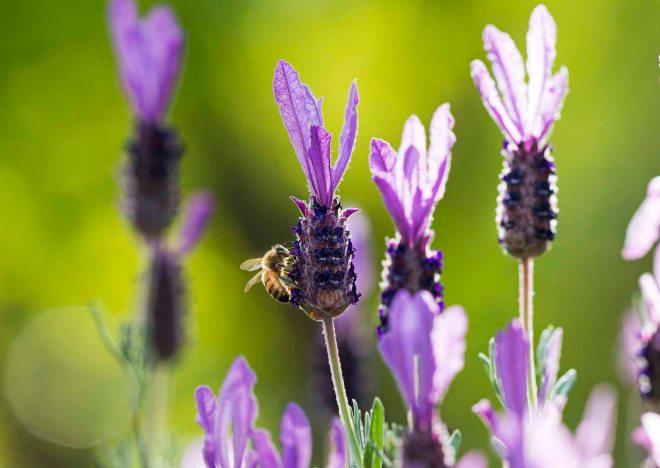 Bee_Lavender_ DSC_4399