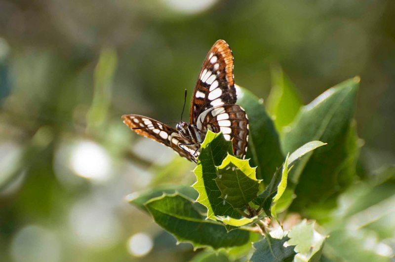 Butterfly_DSC_5466