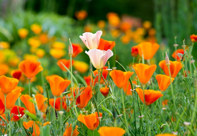 CA-Poppies_DSC_4504