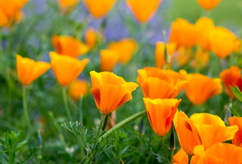 CA-Poppies_DSC_4506